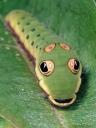 spicebush swallowtail caterpillar